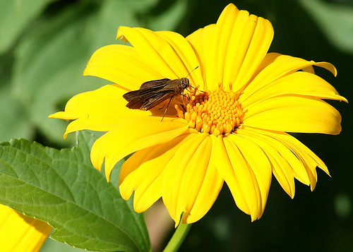 Moth on Unidentified Yellow Flower