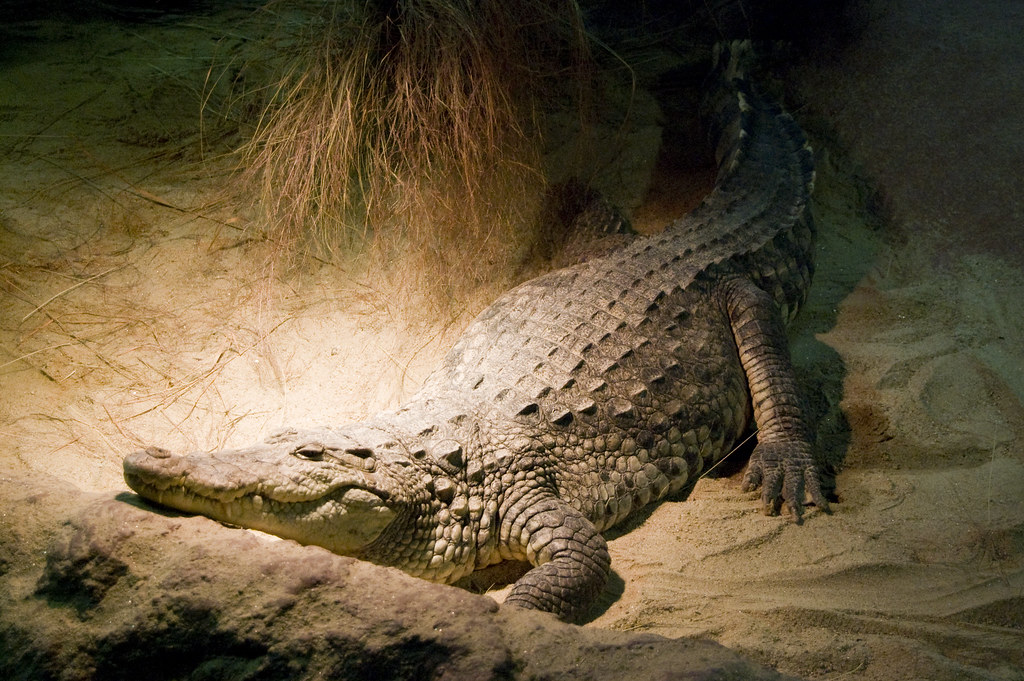 d4bbbd441ce3b Crocodile (bi plus one) Tags  ireland dublin nature animal zoo nikon  crocodile dublino irlanda coccodrillo