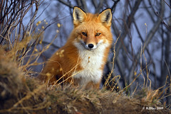 Who's Going To Blink First? (Ron Hay) Tags: red newbrunswick fox redfox saintjohn vulpesvulpes irvingnaturepark ronhay rjhay firefox5 rjhay2009