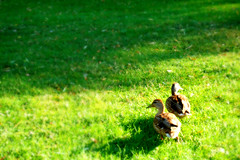 playmates (emma daly.) Tags: seattle summer sun cute green nature grass sunshine duck washington funny couple play sweet duckling adorable ducks ducklings crisp wa playful