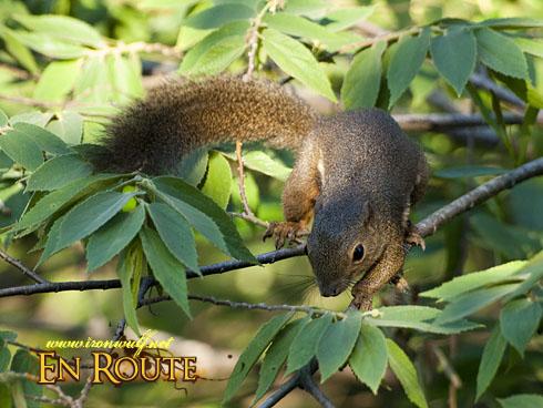 Sungei Buloh Squirrel