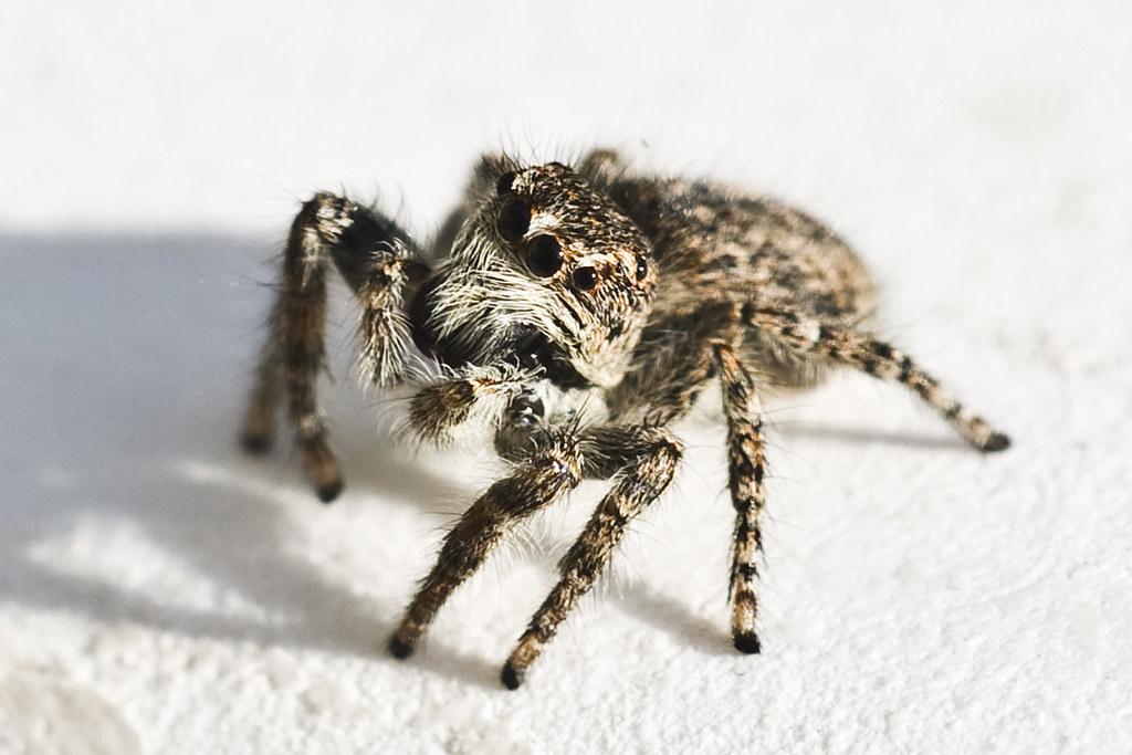 Salticidae #1