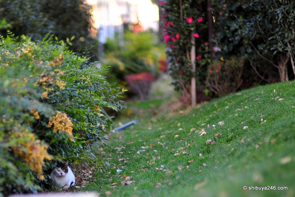 Another cat hides down in the bushes.