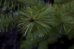 Pines with dew Photo
