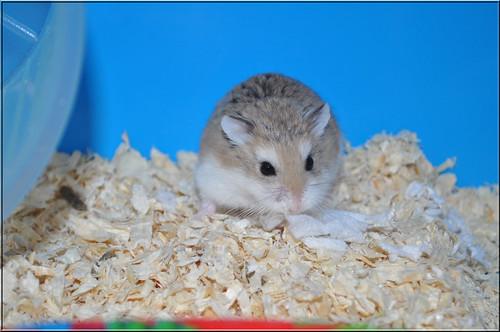 Flickriver: Random photos from Roborovski hamster luvers <3 pool