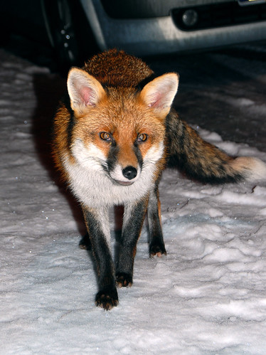 Urban fox (Vulpes vulpes) in the snow