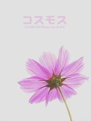 波斯菊 (A-Zhi) Tags: olympus 波斯菊 c770 olympusc770 嘉義花海節