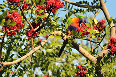 Rainbow Lorikeet #3 - 25 (Vinko Sunde) Tags: blue red wild pet color colour tree green bird yellow fauna colorful pretty native wildlife australian lorikeet tropical colourful inatree rainbowlorikeet intree smallbird