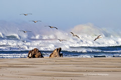 Canon Beach Pelicans (Gary Grossman (traveling for business)) Tags: ocean morning winter sea wild seascape beach pelicans nature colors birds oregon landscape rainbow sand december waves spectrum natural pacific northwest wildlife prism spray driftwood pacificocean pacificnorthwest oregoncoast canonbeach seaspray crashingwaves lovelylight northpacific refractedlight refract skimming mywinners mygearandmepremium