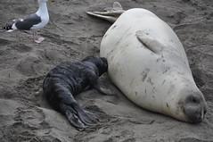 Big Sur 091 (trurokr) Tags: elephant san seal simeon