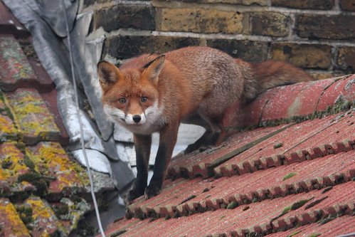 Fox on roof #1