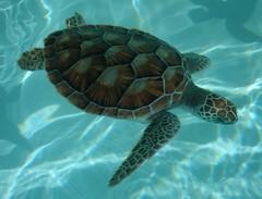 Cancun   La Tortuga (Cristina Bruseghini de Di Maggio) Tags: tortugas