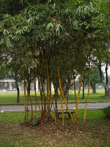這是金絲竹唷,不知道為啥學校種了不少