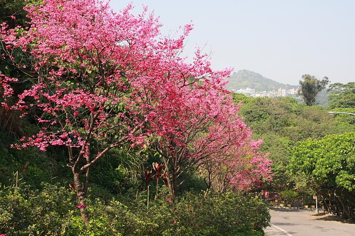 樹林大同山青龍嶺的櫻花林0029