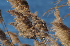 Blowing In The Wind... (Chris H#) Tags: blue winter brown soft tan bedfordshire fluffy windy blowing bluesky seeds rushes s3000 blowinginthewind sooc inseed nikond5000 odellharoldcountrypark