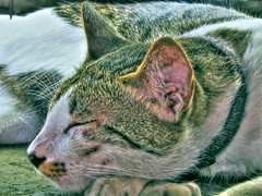 Battle-Weary Max - hdr (Jun's World) Tags: world sleeping max cat flickr sleep battle jun weary juns maxthecat battleweary