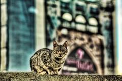 gatto versus sedile - hdr (paride de carlo) Tags: cat felino gatto salento animali lecce anfiteatro muscio sedile
