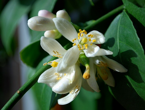 meyer lemon blossoms 2