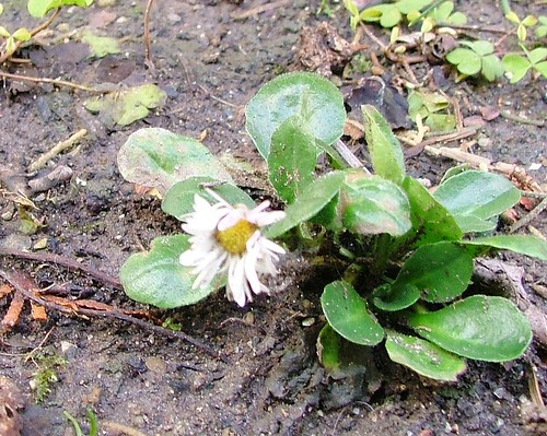 the first bellis perennis!