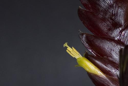 Vriesea hybrid flower