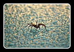 Holy Spider! (Leycide) Tags: daddy spider big long legs ceiling creepy
