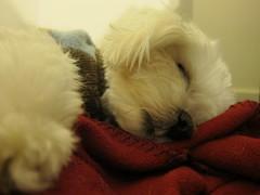 IMG_0394 (maria c's photos) Tags: dog jack cutie maltese thedog corbin jackaroo