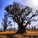 Saka Baobab
