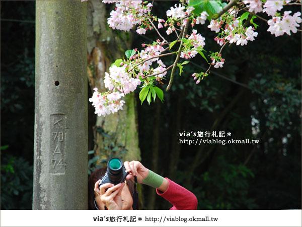 【淡水天元宮櫻花】跟著via賞花趣~天元宮櫻花最新花況18