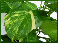 Potted Epipremnum aureum 'Golden Pothos' with focus on its large leaves (15 inches long)