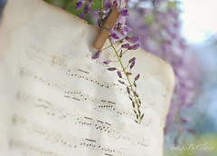 Spring's concerto (ImagesByClaire) Tags: old flowers vintage 50mm ginger dof purple blossoms 50mm14 wisteria shallowdepthoffield musicsheet fromfrance project365 puremilk florabellaoverlays fortheviolin brownattheedges