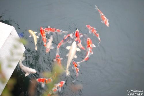 被養的肥滋滋的魚