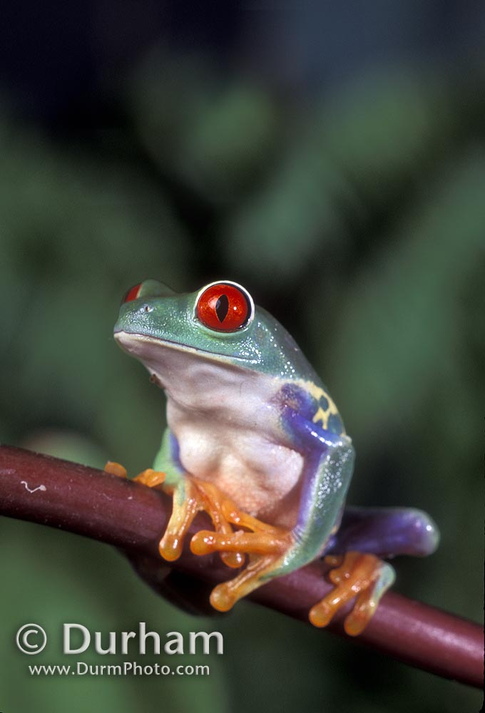 red-eyed tree frog (galychnis callidryas)