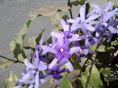 5. Krishnagaru flowers 5