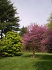 Eastern Red Bud (andyXchrist) Tags: nature spring outdoor bronx nybg springgreen zn5