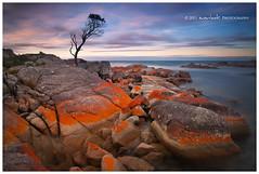 The 'Matt' Tree (Dylan Toh) Tags: ocean sunset sea seascape tree beach rock landscape photography long exposure dusk australia tasmania lichen dee tassie waterscape bayoffires everlook binalongbay nd1000