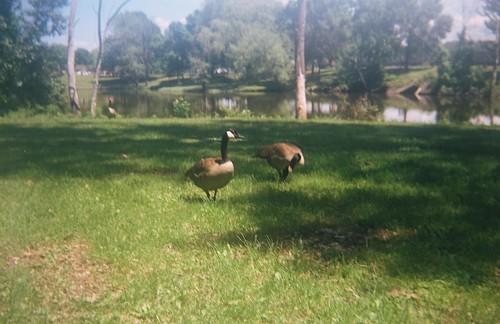 Geese at Corning Preserve, Albany, NY