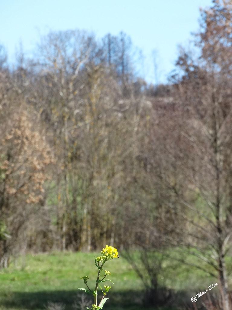 Águas Frias (Chaves) - ...flor amarela, solitária ...