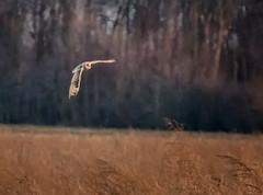 Tight Right (Portraying Life, LLC) Tags: michigan unitedstates superiortownship handheld nativelighting wild owl bird closecrop