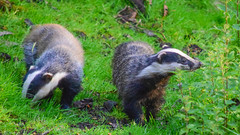 Badger 2 (Terry Angus) Tags: badger