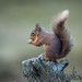 Red Squirrel (Paul Tymon) Tags: