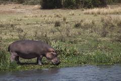 Hyppo Uganda (guido.menato) Tags: hyppo uganda africa afrika murchinson falls park wildlife safari nature animals