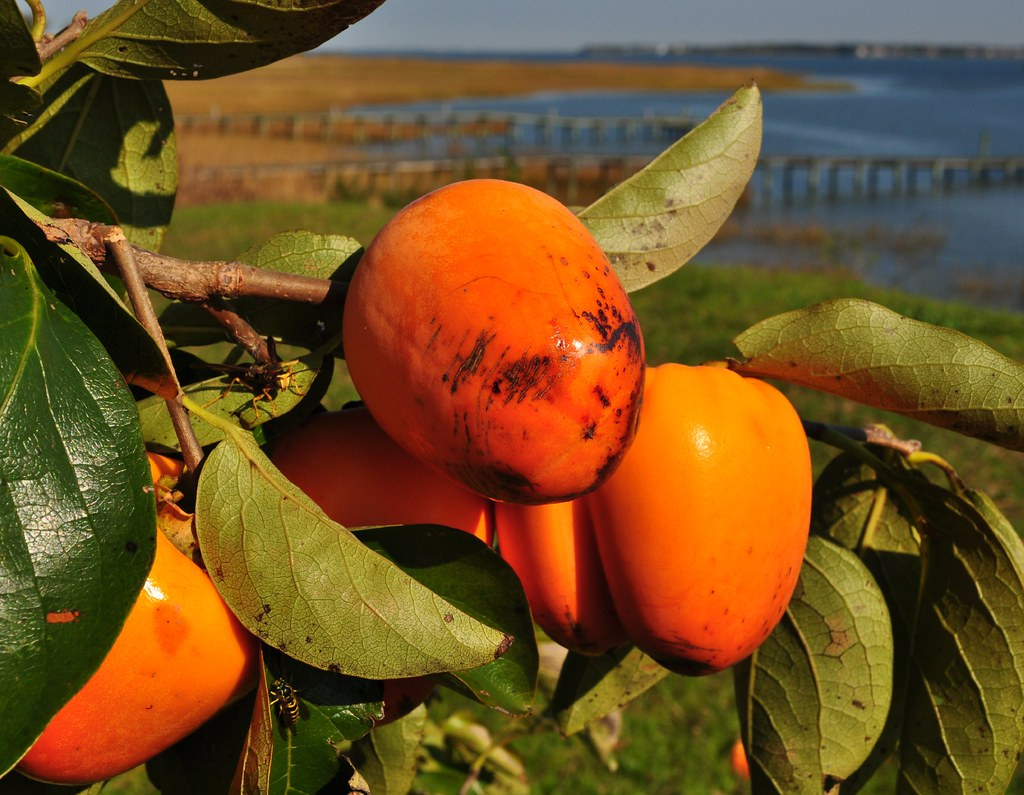 Asian Persimmon (Diospyros kaki) 44