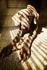 morning light (saikiishiki) Tags: light portrait dog texture love face sunshine yoga toy eyes hands friend shadows blind stripes adorable spot stretch best explore weimaraner blinds lovelovelove seen uncropped sweetest omoshiroi weim adhomukhasvanasana mukha thelittledoglaughed downwardfacingdogpose texturebyplayingwithbrushesoneofmyfavoritetexturesthankyou
