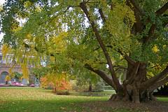 Ginkgo biloba, sequoiadendron giganteum (sybarite48) Tags: france tree garden botanical arbol ginkgo jardin boom arvore tours albero botanique arbre baum maineetloire