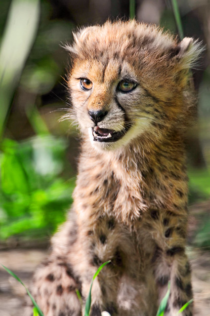 Sitting cheetah cub