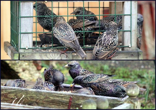 Starling Invasion