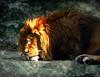 Lion dreams... maybe about Africa:) (raphic :)) Tags: light texture zoo lion dream warsaw rest lew warszawa sen światło naturesfinest odpoczynek raphic tekstura