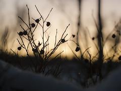 Last blueberries (knutmsa) Tags: blue winter sunset mountain snow mountains nature norway nikon natur arctic nikkor troms 5014 winterscene nikkors northernnorway nikkors50mmf14 d700 nikkors5014