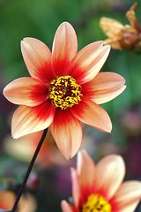 never tire of looking at (photoholic image) Tags: dahlia summer flower nature flora petal bloom