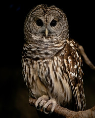 Everyone is Fond of Owls (Brandon Christopher Warren) Tags: brown white texture yellow dark eos zoo is big wings eyes key branch state mark low north gray feathers ii american owl carolina 5d everyone owls fond barredowl talons asheboro woodowl northcarolinastatezoo eos5dmarkii everyoneisfondofowls